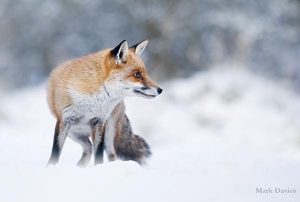 Fox in snow by Enmark