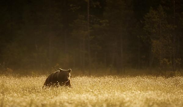 Golden Brown by Enmark