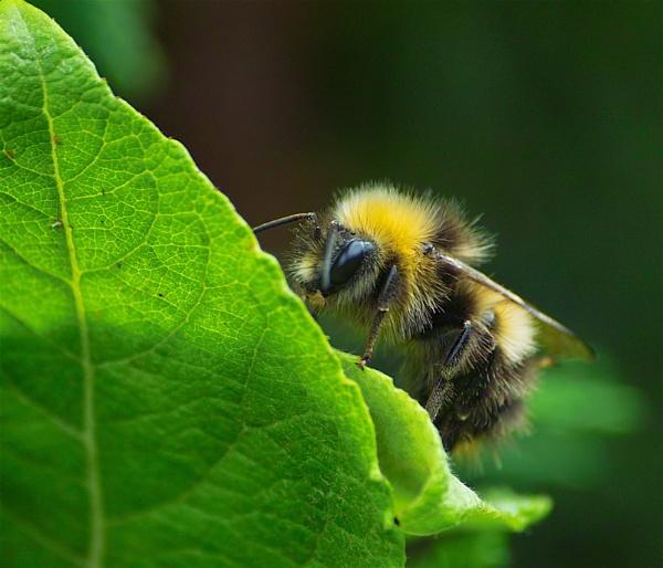 Resting Bee by Gemma9