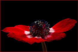 Red Anemone No 2
