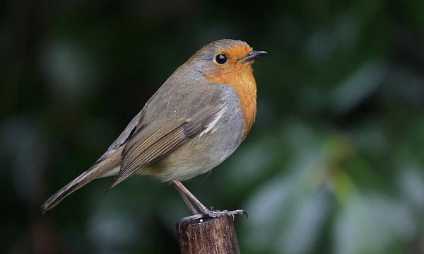 Robin in the rain by HarveySquires