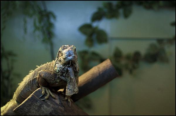Iguana by beN86