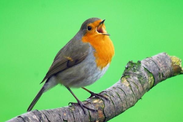 Robin Chirping by sallybea