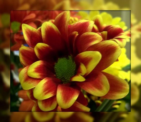 Chrysanthemum by Peagreen