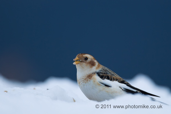 Snow Bunting II by MikeDowsett