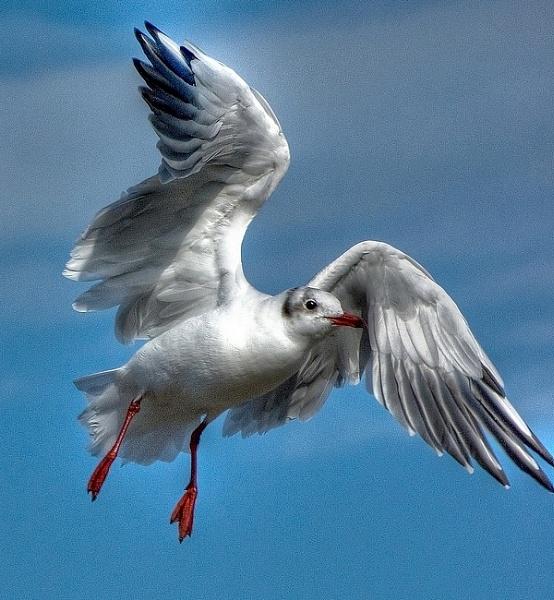 Black headed Gull winter plummage by pentaxboy
