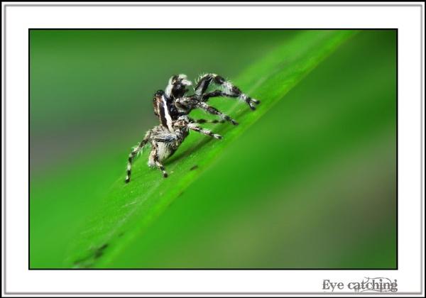 Wee-Spider by rajishravi