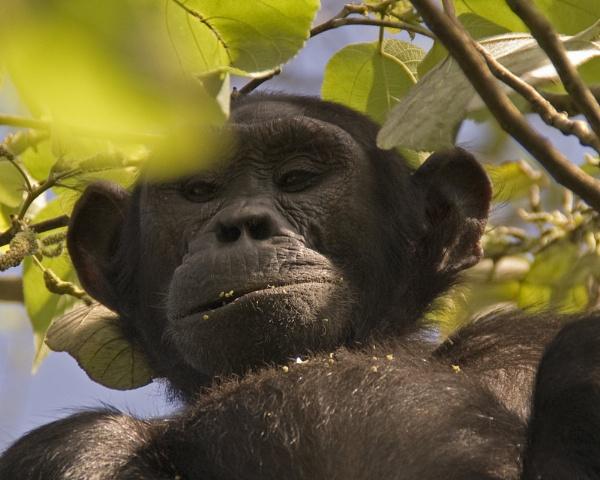 Ugandan chimp - \'Gasham\' by Hoverfly