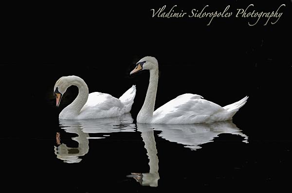 Swans by vladiscom