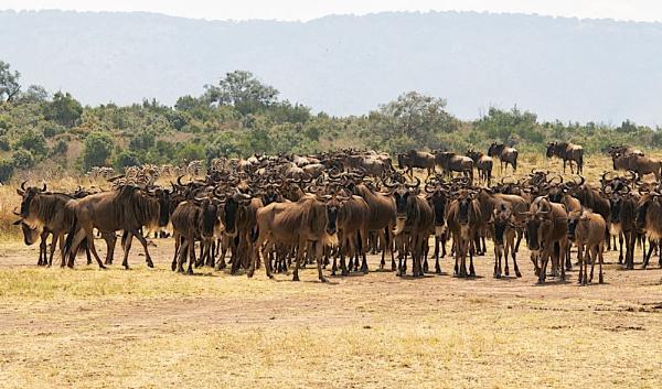 Gathering of the wilderbeast by jennialexander