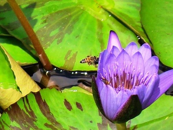 Lirio y abeja by htrejo