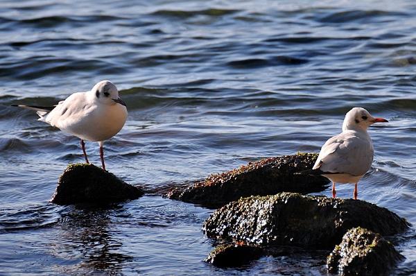 Black Headed Gulls by acbeat