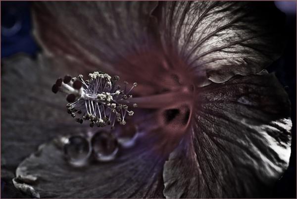 Silvere Hibiscus by RoyMarriott