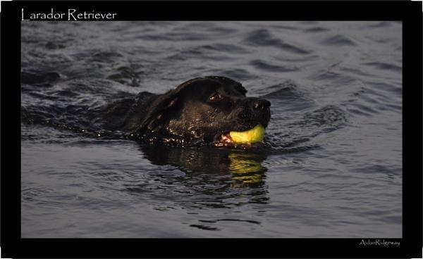 Labrador Retriever by Ridgeway