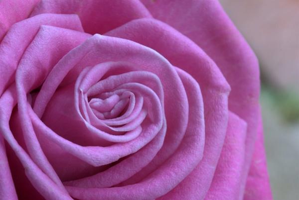 Rose by GillesG