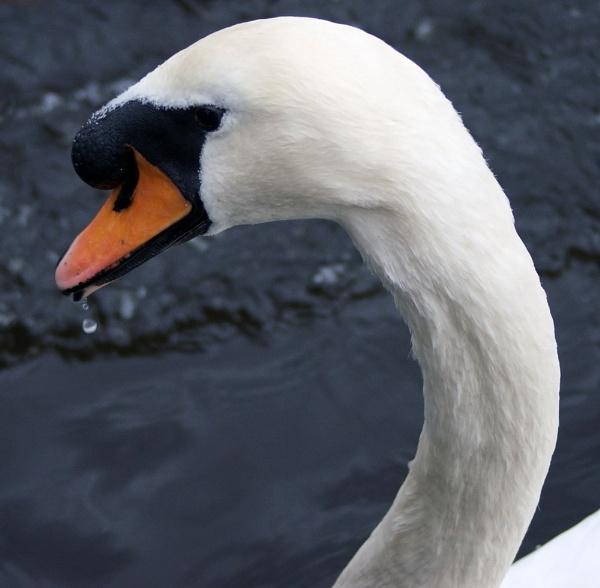 Swans head. by Adam_H