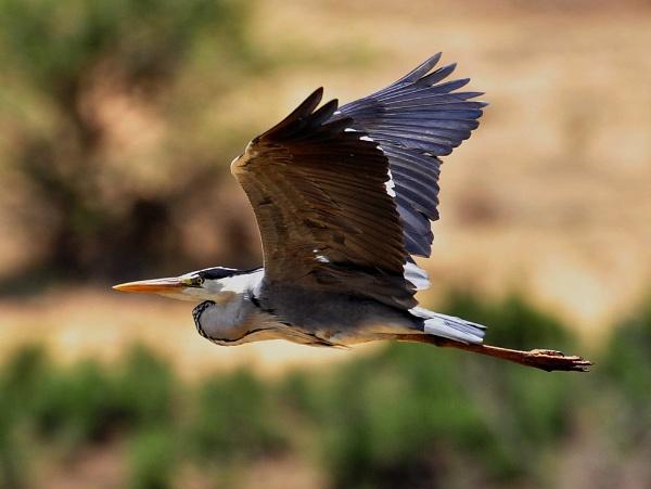 African Grey Heron by Kruger01