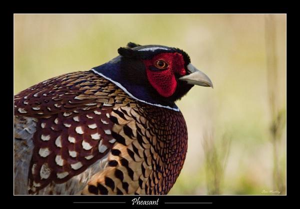 Pleasant Pheasant by SteveMoulding
