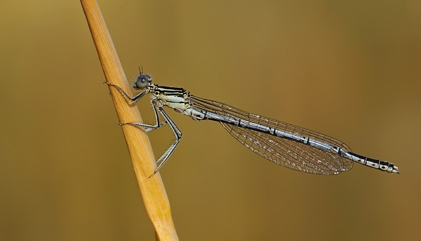 Common Blue Damselfly by NigelKiteley