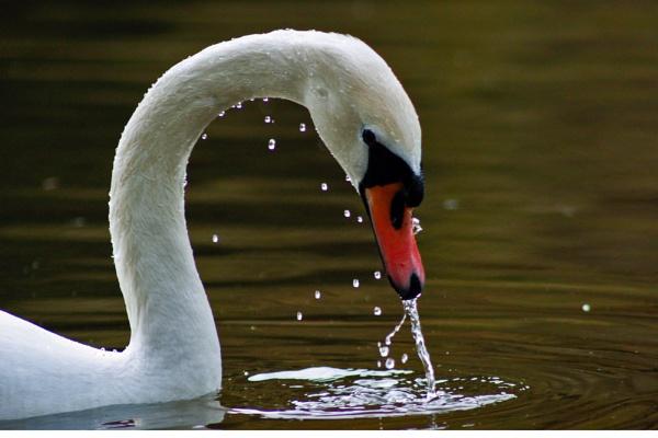 swan by LazFair