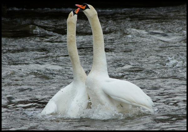 loving swans by alianar