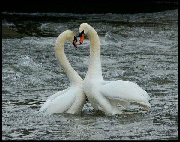 courtship swans by alianar