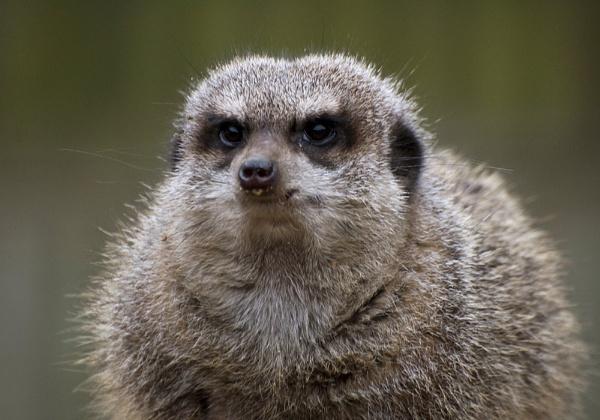 Meerkat by beN86