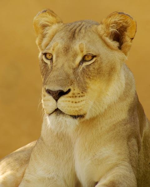 A very regale Lioness by bigredtim