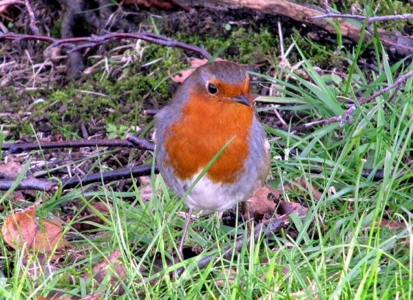 Robin by BillPaskin