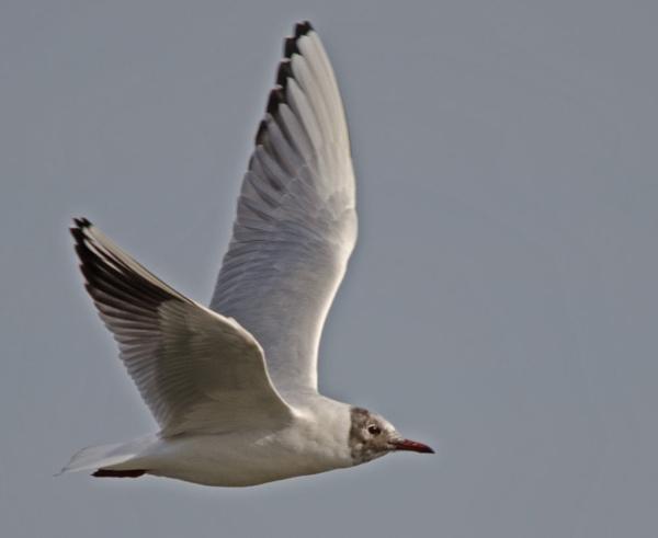 Black Headed Gull by JohnJenkins99