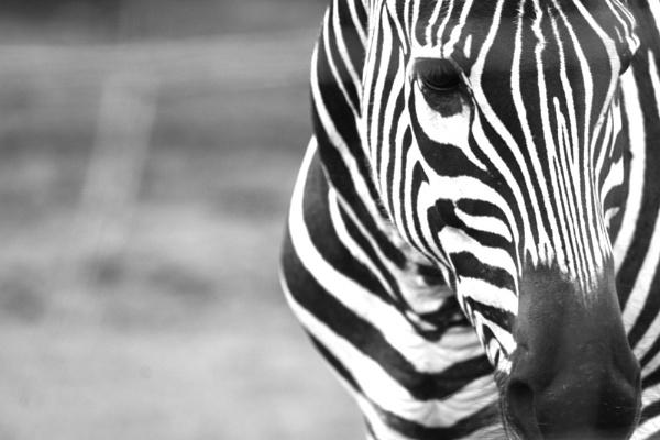 zebra by roisin