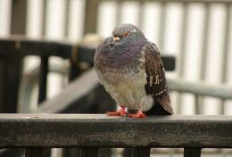 Fluffy Pigeon