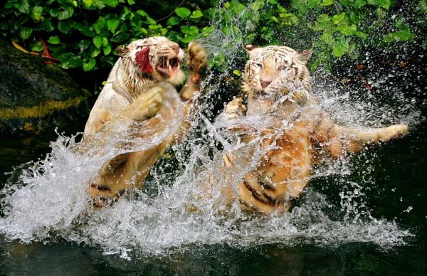 Tigerrrr.....Fight!!! by alit_apriyana