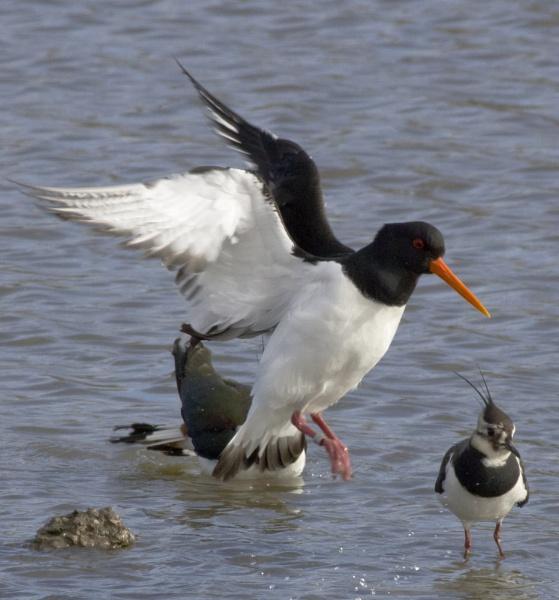 Oystercatcher landing by TheRiverRat