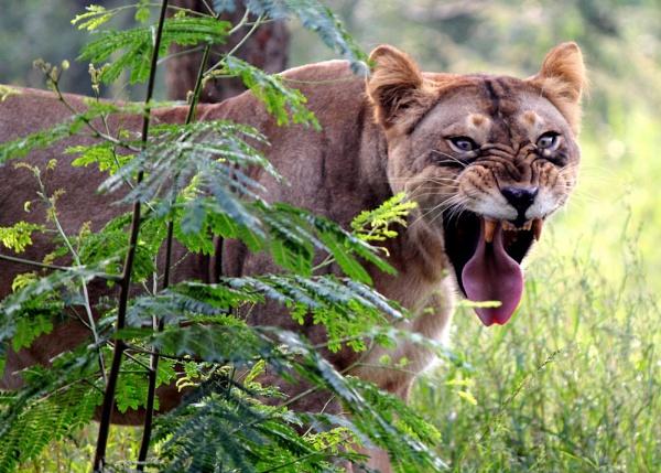 Lioness by maheshguild