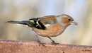 Chaffinch ~ Fringilla coelebs by ewar at 26/02/2011 - 10:09 PM