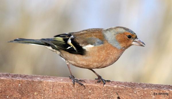 Chaffinch ~ Fringilla coelebs by ewar