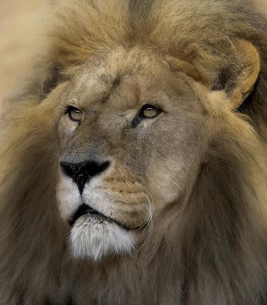 Lion by SueTurner