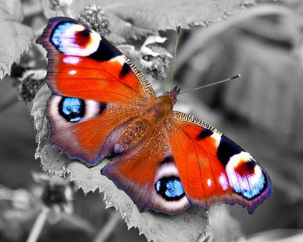 Peacock Butterfly by flyking3