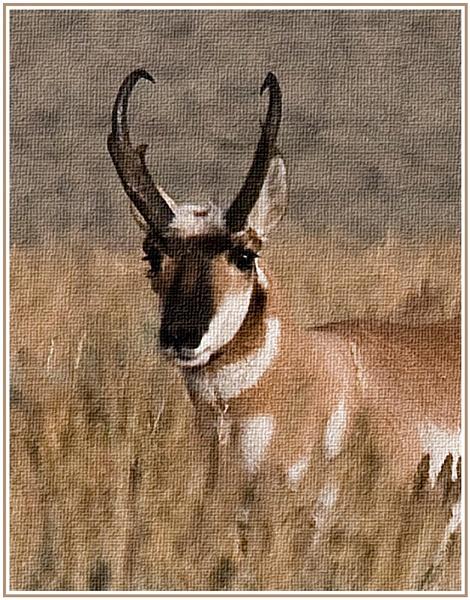 pronghorn gazelle by dven
