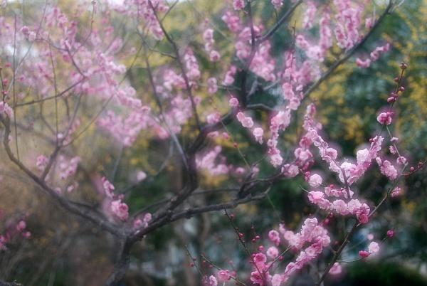 plum blossom by piggie_vickie