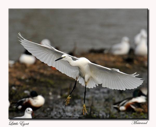 Whiter than White by Maiwand