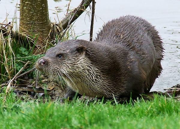 BWC Otter by Georgie