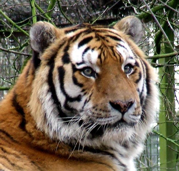 Tiger Portrait by Georgie