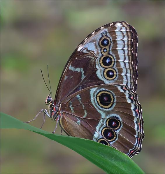 Blue Morpho Butterfly by Stace