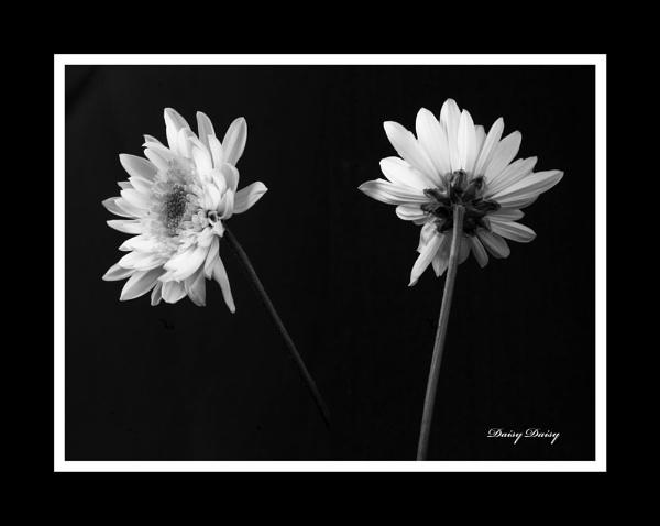 Daisy Daisy by Sonic63