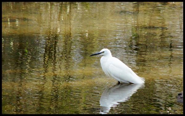little egret by alianar