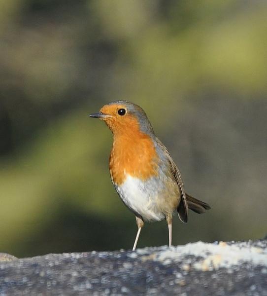Slimline Robin... by janetpac