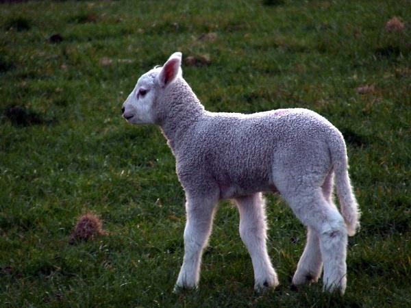 spring lamb by hughsey