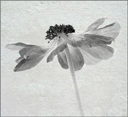 Anemone again...